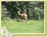 A fawn on the lawn at the Wilderness Gateway Bed and Breakfast